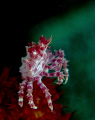   Candy Coral crab taken Canon S90 Inon close lens strobes.....This was my first trip using lenses there steep learning curve strobesThis strobes This  
